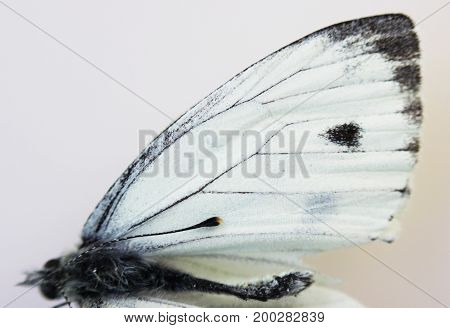 Dead insect white butterfly Pieridae close-up, wing on white background
