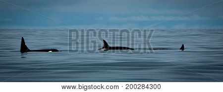 Three Killer Whales, Orcas, swimming the waters of Cook Inlet near Homer Alaska.