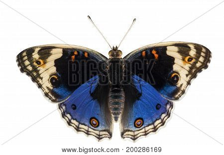 Isolated Dorsal View Of Male Blue Pansy Butterfly ( Junonia Orithya Linnaeus )