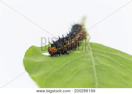 Caterpillar Of Blue Pansy Butterfly ( Junonia Orithya Linnaeus ) Resting On Leaf