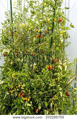 Plant of cherry tomatoes (Solanum lycopersicum var. cerasiforme) growing in a pot and showing plenty od green yellow and red cherry like tomatoes.