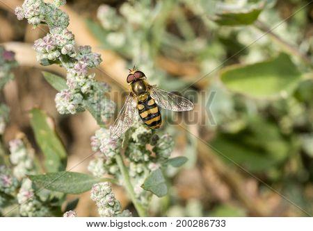 American Hover Fly Metasyrphus Americanus (aka Flower Fly)