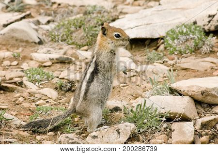 A chipmunk standing on hind legs in the wild