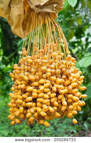Cluster of dates hanging from a date palm