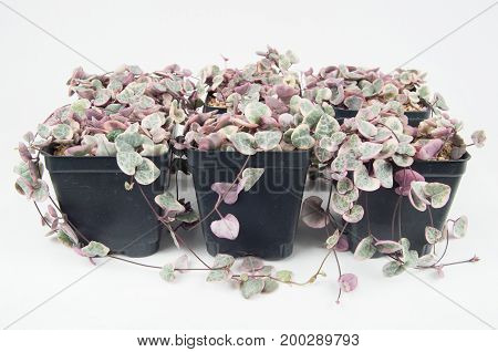 A Photo of Variegated string of Hearts Succulent Plants