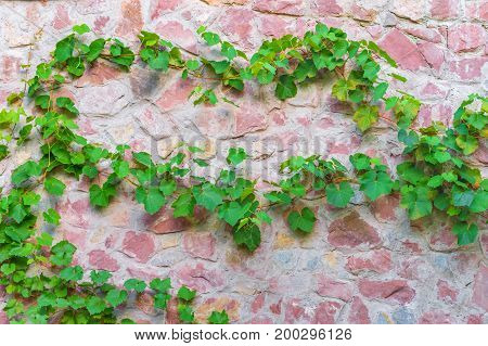 background texture stone wall covered with creeper plants