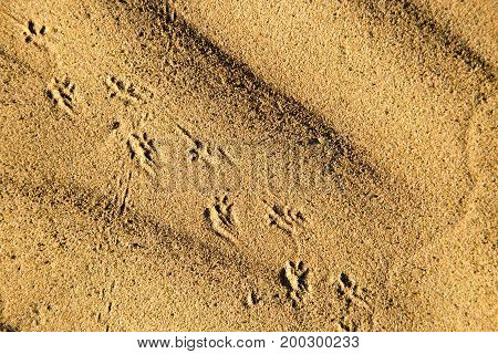 Traces of the beast on the sand in the desert .