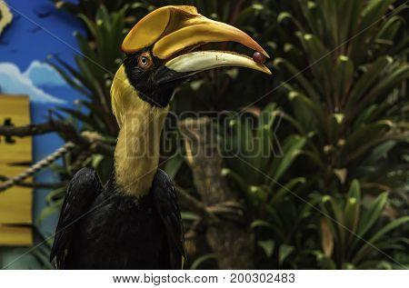 Hornbill Bird with berry in its beak