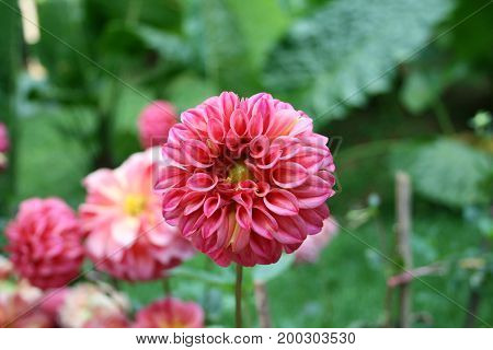 Lait Dahlias is flower beautiful in nature.