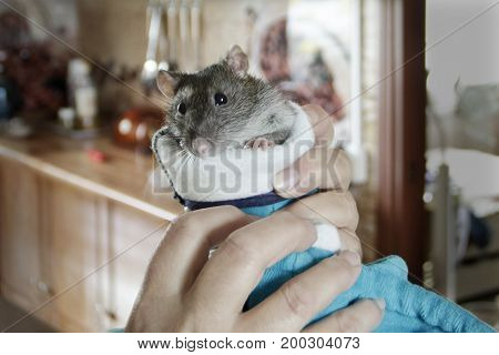 Rat in the hands of the kitchen