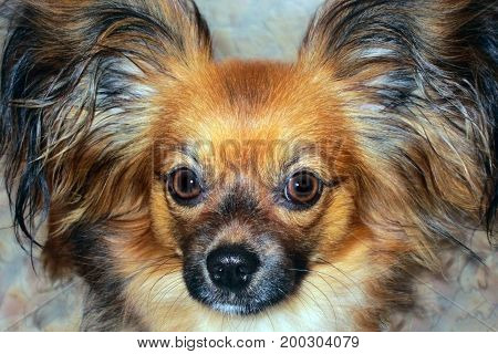 Dog breed papillon looks into the frame close-up