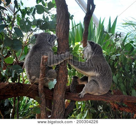 Two Koalas holding hands and looking away while sitting on a branch