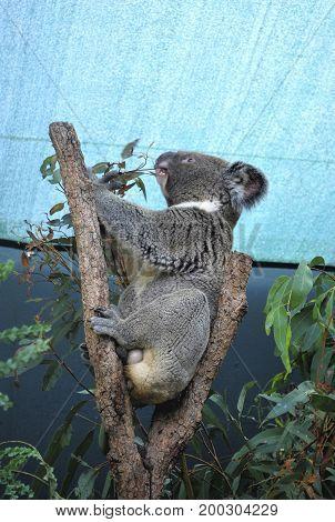 Fluffy Koala is pulling eucalyptus branch under the canopy