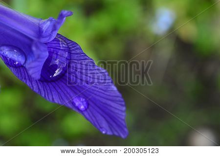 Drops of rain water on a blue iris petal in the light of sunlight