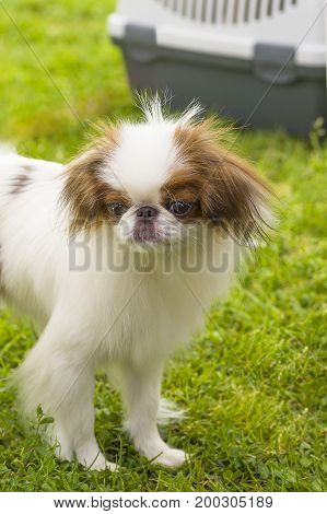 Small dog Pekingese close-up. Concept: cute, home, friend, love, affection, kindness, care. Space under the text. 2018 year of the dog in the eastern calendar