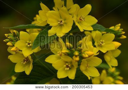 Loosestrife wild flowers inflorescence of yellow blooming summer flowers