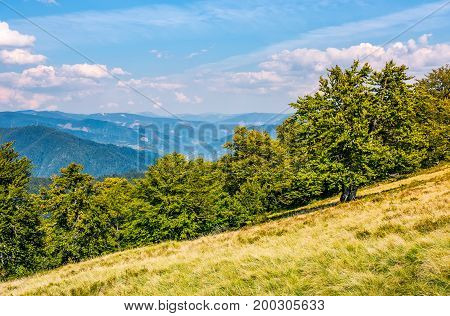 Beech Forest Down The Hillside In High Mountains