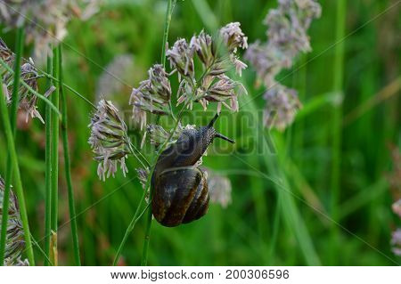 Snail on the grass stalk early in the morning in the field
