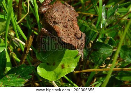 Wet weather of a toad on a green leaf on a summer morning
