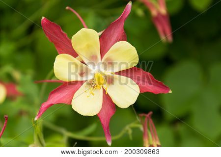 Beautiful red-yellow flower aquilegia closeup on blurred background