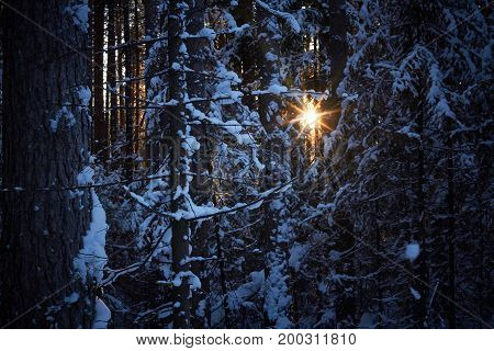 Evening in the dark forest Christmas. Sun rays in the dark. New year covered in snow. Spruce trees pine trees covered with snow.