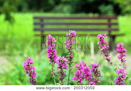tranquil scene purple loosestrife in front of a bench in a green park