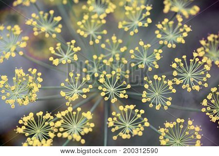 Close-up Of Dill Flower Umbels In Autumn.