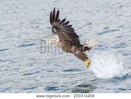 White tailed eagle in search of prey