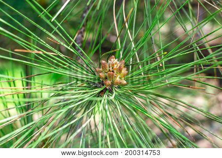 Cone bud on the branches of fir trees.