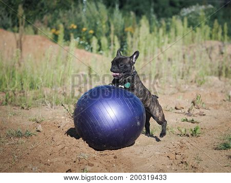 Dog plays with a huge inflatable ball