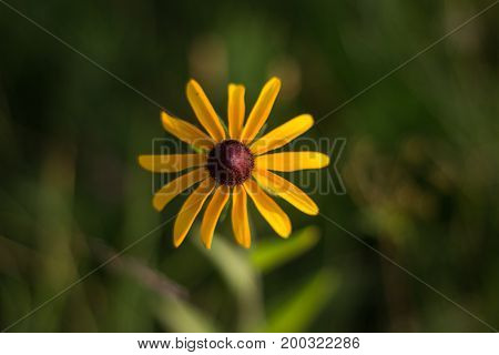 Black-eyed susan in green field from above