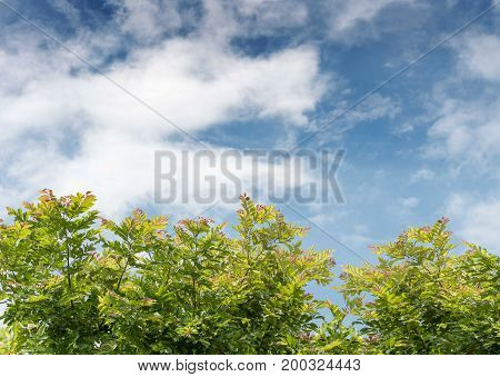 Fresh green trees and blue sky and clouds.copy space
