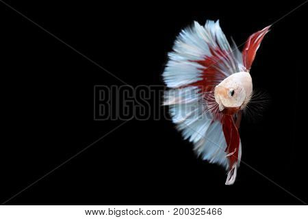 Half red and blue Betta Siamese fighting fish Betta splendens Pla-kad ( biting fish ) of Thailand swimming motion on black isolated background Animal and Aquamarine concept