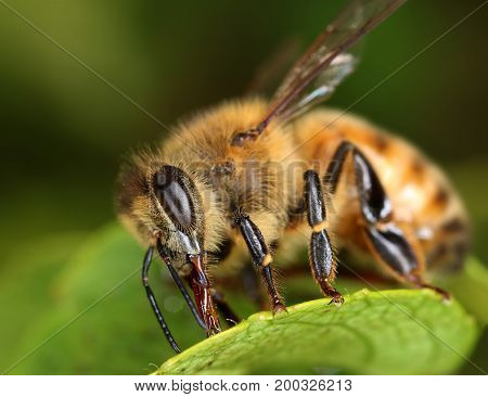 Bee insect searching sweet food macro close-up