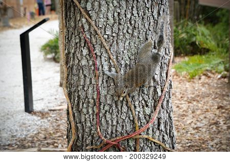Eastern Gray Squirrel, Sciurus carolinensis, at Florida Botanical Garden