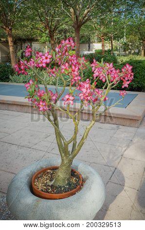 Desert Rose, Adenium obesum, apocynaceae, West Africa