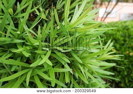 Podocarpus macrophyllus, 'Maki' at the Florida Botanical Garden