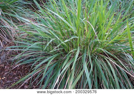 Fakahatchee Grass, Tripsacum dactyloides at Florida Botanical Garden