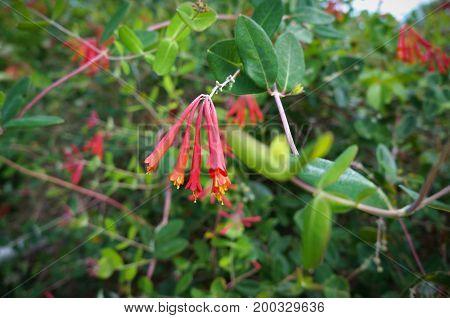 Coral HoneySuckle, Sonicera sempervirens, Caprifoliaceae at Florida Botanical Garden