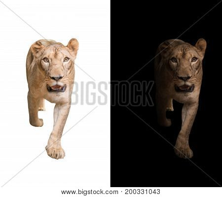 Lion In The Dark And White Background