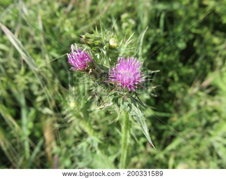 The thistle is a thorny plant that makes this flower from thin petals