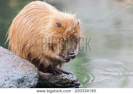 Nutria (Myocastor coypus, beaver rat) washing face on waterside rock