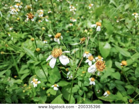Close up white flowers or Spanish needle (bidens pilosa) with blur background in the garden.