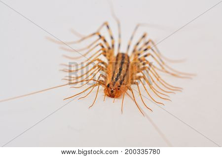 Giant centipede in the house. Emetophobia, afraid of the big bugs. Insectophobia, giant bug in the house