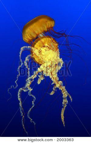 Sea Nettles (Chrysaora Quinquecirrha)
