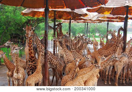 Bangkok, Thailand- September 2013: The giraffe  the tallest living terrestrial animals and the largest ruminants