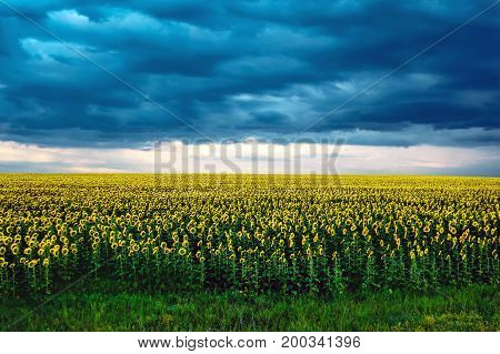 Agricultural Landscape With Sunflowers Field And Storm Clouds On Sunset