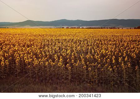 Beautiful Field With Yellow Sunflowers