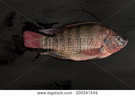 Fresh Nile Tilapia Mango Fish Nilotica Fish On Black Background