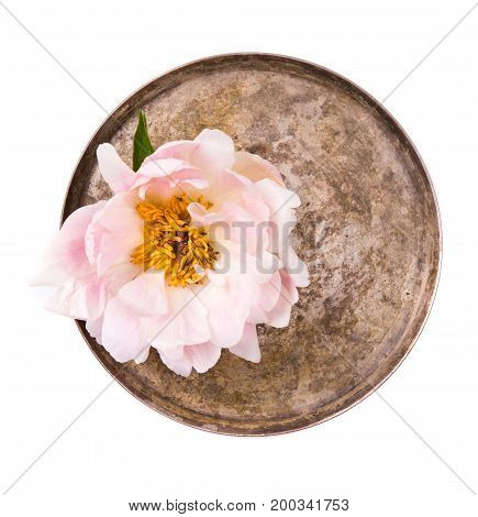 Tender peony flower in plate on white background isolated. Summer floral decor